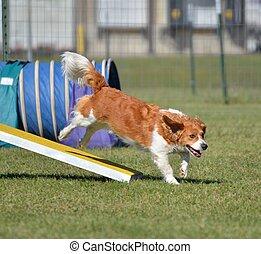 Mixed-Breed Dog at Agility Trial - Mixed-Breed Dog Jumping...