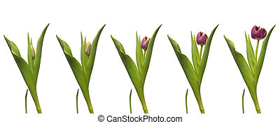 Single Tulip Time-lapse - Single purple tulip blooming. Time...
