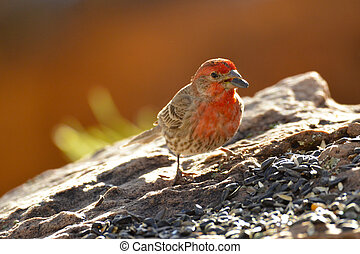 Red Male House Finches