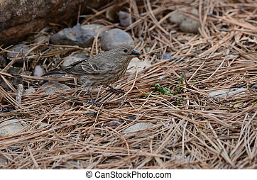 Brown Streaked female House Finch
