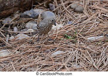 Brown Streaked female House Finch - Southwest USA Beautiful...