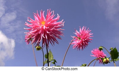 Dahlias against blue sky - Big pink dahlia flowers swaying...