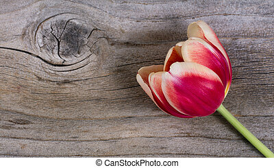 Single tulip on stressed wood - Single tulip on rustic wood...
