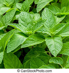 Closeup fresh growing peppermint leaves at vegetable garden.