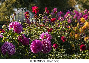 coloridos, dahlias, em, jardim,