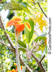 Canna lilly flower - Orange canna lilly flower in forest