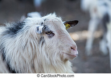 Billy goat portrait - Close up of billy goat on the farm