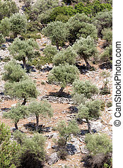 Olive groves in Greece - Olive groves at hilly area on...