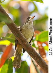 Streak-eared bulbul bird perching on tree branch in the...