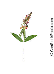Pressed and dried flower stachys officinalis( betonica...