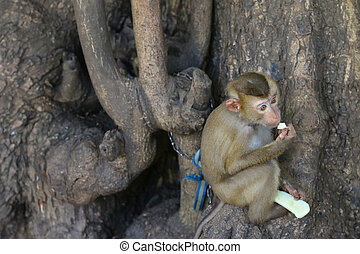 Cute little monkey being chained to tree holding nibbling...