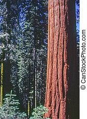 Sequoia in Sequoia National Park, California