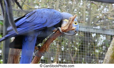 Hyacinth Macaw Perched on Tree Bran - Beautiful Blue...