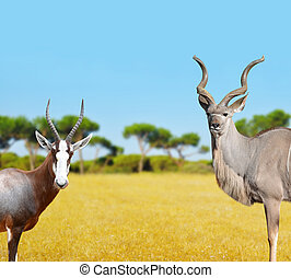 Blesbok antelopes and Greater Kudu in savannah