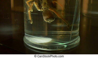 Tarantula in Formalin - A creepy tarantula in biology...