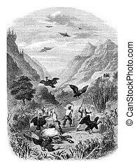 condor, caccia, vendemmia, incisione