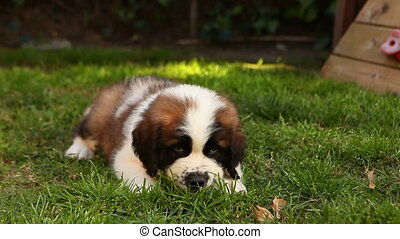 Saint Bernard Puppy Lying in the Gr - Handheld Shot of...