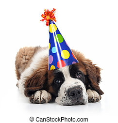 Saint Bernard Wearing a Polka Dot Birthday Hat - Mopey Saint...