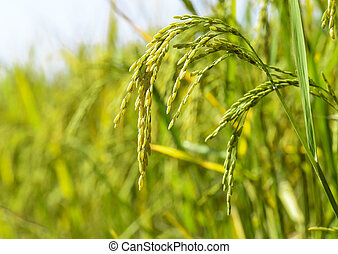 rice spike with sunlight in morning