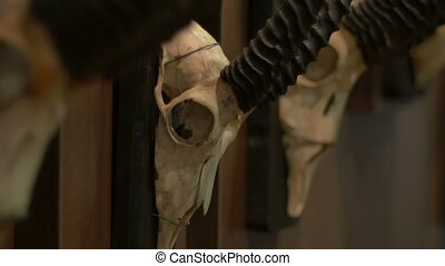 Antelope Skulls on Wall - Antelope skulls with black antlers...