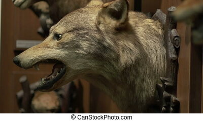 Large Wolf Hunting Trophy - Portrait of wolf with open...