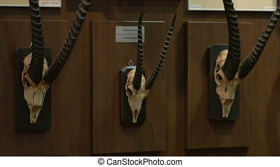 Antelope Hunting Trophy - A collection of anetelope skuls on...