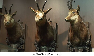 Stuffed Hunting Deer Trophy - Deer hunting trophy on a...