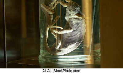 Chameleon in Jar for Preservation - A chameleon and another...
