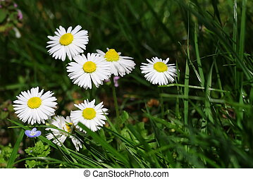 flowers ox-eye daisies on sunlight, Leucanthemun vulgare