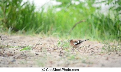 Male common chaffinch forages on the ground and flies away -...
