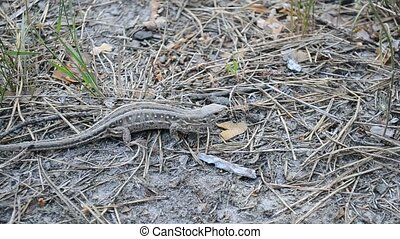 Sand lizard on the ground in forest gradually leaving the frame