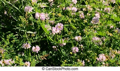 Rose colored crown vetch flowers blown by wind on a sunny...