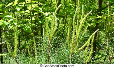 Pine tree branch with fresh sprouts gently swaying in breeze