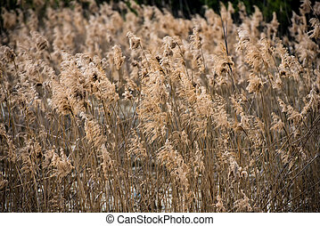 Field of dry rush in natural light