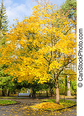 Maple with yellow leaves in autumn park