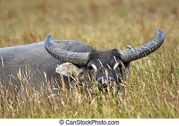 laying in wait - Mature water buffalo, Bubalis bubalus, at...