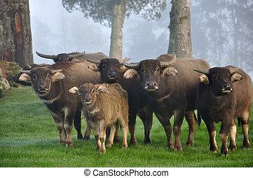 buffalo family - Family of swamp buffalo, Bubalus bubalis,...