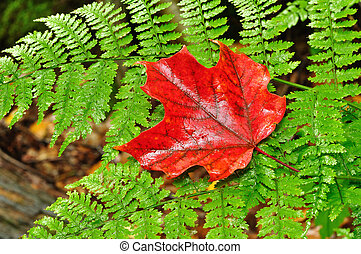 A Single Red Maple Leaf on a Fern in Autumn