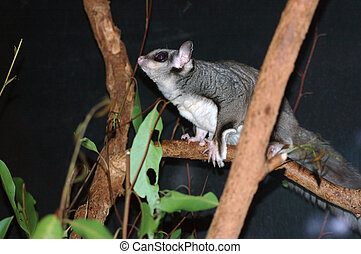 alert one - Australian sugar glider, Petaurus breviceps; in...