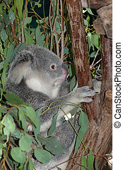 koala - Australian koala, Phascolarctos cinereus, in a...