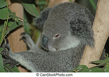 sleepy one - Australian koala, Phascolarctos cinereus,...