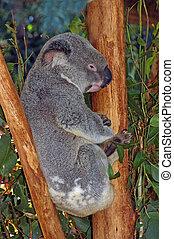 koala - Australian koala, Phascolarctos cinereus, in a...