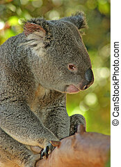 koala - Portrait of Australian koala, Phascolarctos...