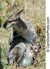 red-necked, wallaby,