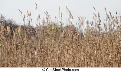 Reed, Tall Grass on Nature Sways in the Wind Silver feather...