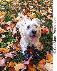 Autumn fun for Puppy - Baby lasa-apso cross terrier having...