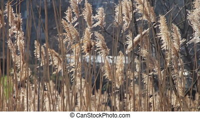 Reed, Tall Grass on Nature Sways in the Wind. Silver feather...