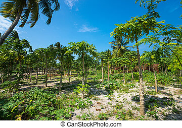 Papaya plantations