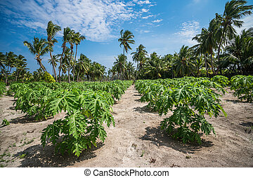 Papaya plantations.