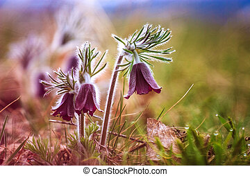 A group of Pulsatilla montana blooming on spring meadow in...